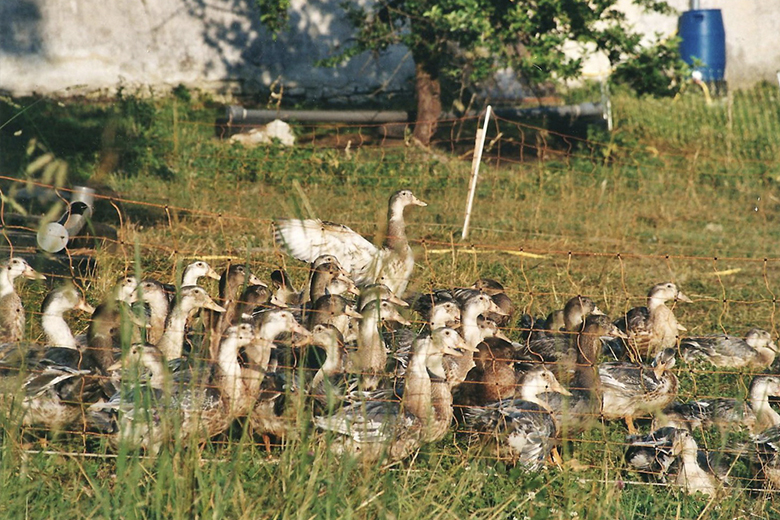 Les canards élevé en plein air dans le Jura
